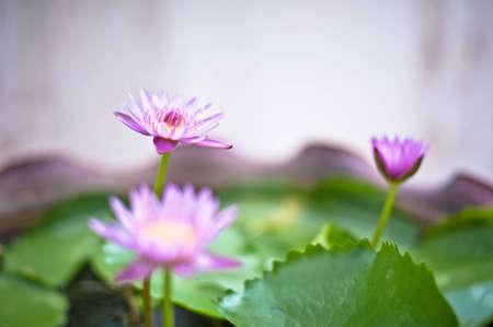 tripple: Tripple lotus