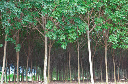 Rubber tree rain forest photo