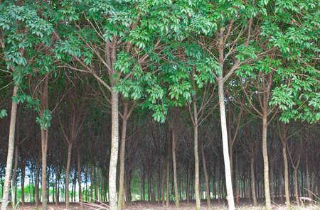 Rubber tree rain forest photo