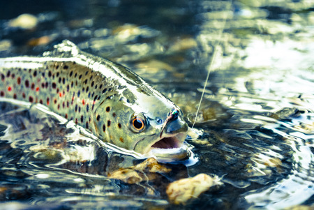 Fly Fishing Trout 스톡 콘텐츠