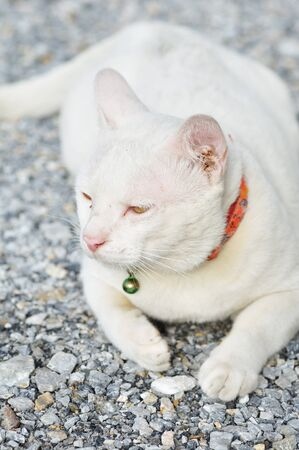 This is Thai Cat.Thai call  Clear White Cat or  Kao Manee photo