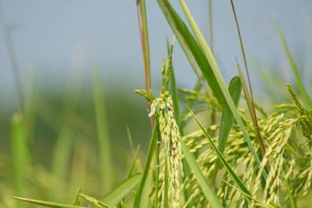 The verdancy of rice field Stock Photo - 8803634
