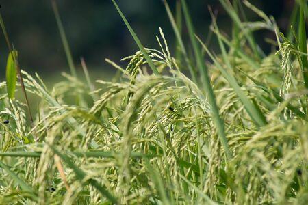 The verdancy of rice field Stock Photo