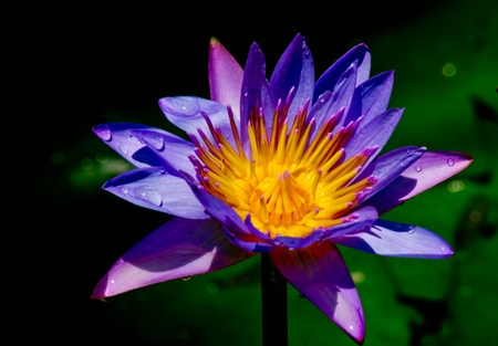 water lilly: LOTUS
