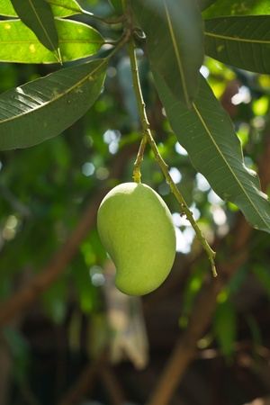Mango on the tree  photo