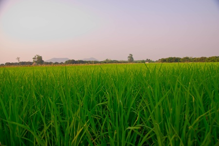 The verdancy of rice field photo
