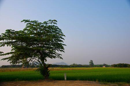 The verdancy of rice field Stock Photo - 13409595