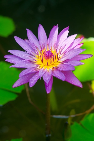 Lotus in bloom photo