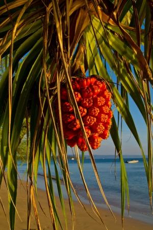 pandanus tree: Pandanus Stock Photo
