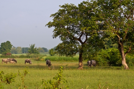 Rice field with buffalo and big tree in countryside Stock Photo - 15732995
