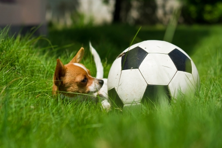 Small puppy with ball in the field at home