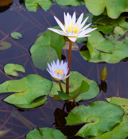 Close up image of Lotus Plant on Water photo