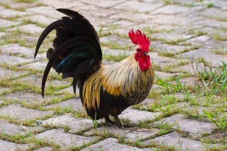 Bantam colorfull  in Countryside from thailand