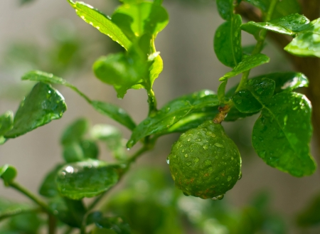 bergamot fruit on the tree with water drop Stock Photo