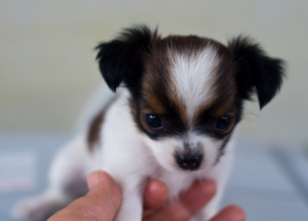 small chihuahua in the hands of people  Stock Photo