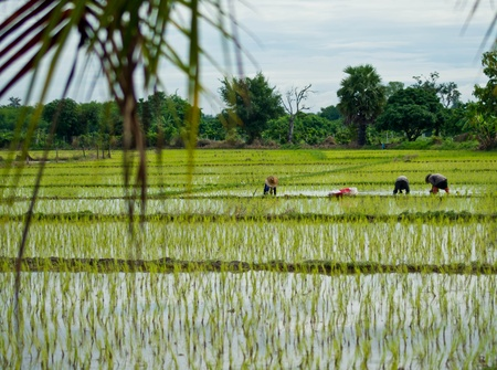 Farmers planting rice in Thailand