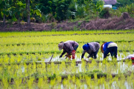 Farmers planting rice in Thailand  photo