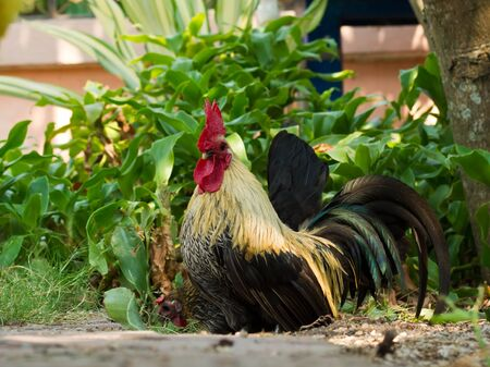 Bantam walk on the grass in my house