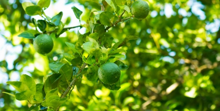 Lemon on a branch with water droplets Stock Photo