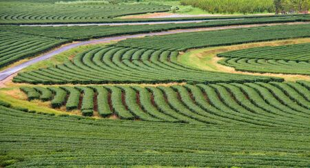 Beautiful pattern of  green tea garden on the hill,Thailand Stock Photo