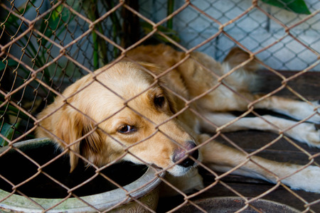 locked in: Golden Retriever was locked in a cage alone Stock Photo