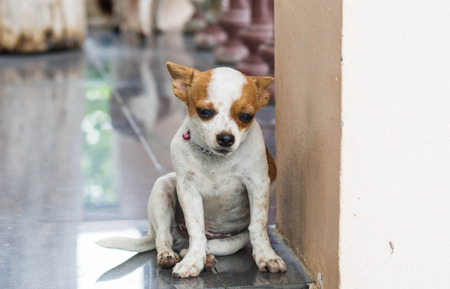 solter�a: Chihuahua look a little sick, lonely, sad eyes.