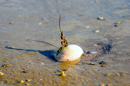 shells are placed on the beach , no life