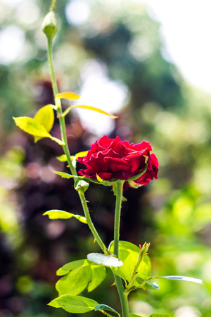 Red roses on the branch and bouquet isbackground