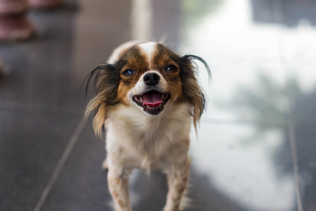 Closed up face and  mouth of chihuahua Stock Photo