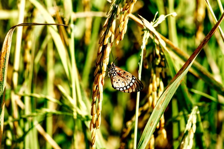 Closedup Butterflies stick to rice plant  one animal