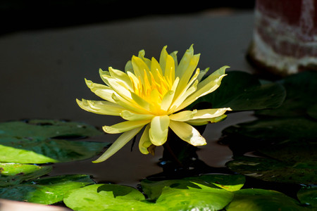 The only yellow lily in the bloom Stock Photo