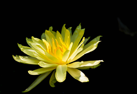A blooming lotus flower of yellow color over dark background