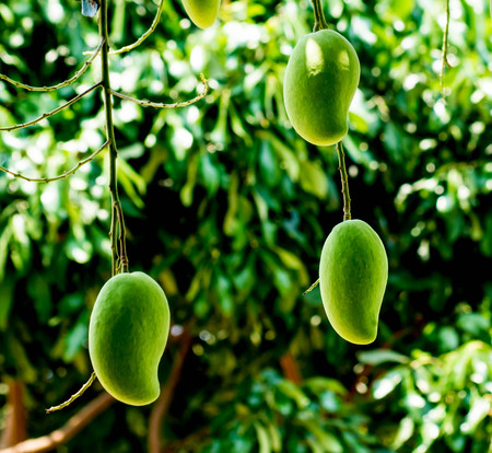 Green mango sticks to the branches on the tree. Stock Photo