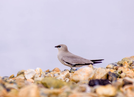 Small Pratincole The birds stand alone on the rocks.copy space