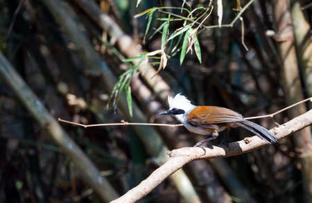White-crested Laughingthrush (Garrulax leucolophus) bird.On a branch in the forest