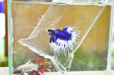 siam Fighting fish in glass photo