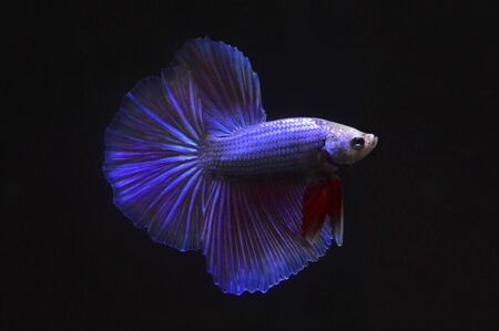 siam Fighting fish on black background Stock Photo