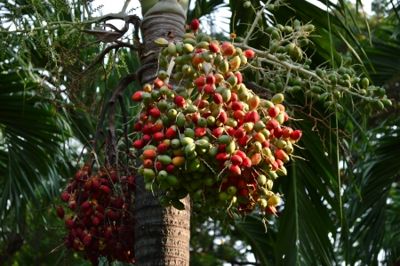 Betel palm,thailand park