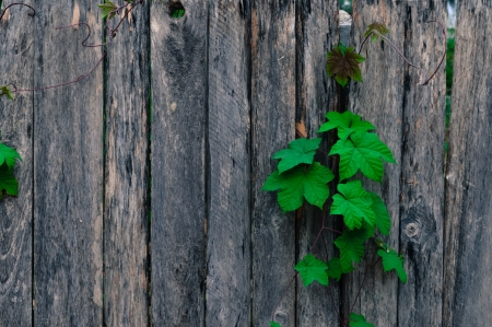 leaf on wood fence  photo