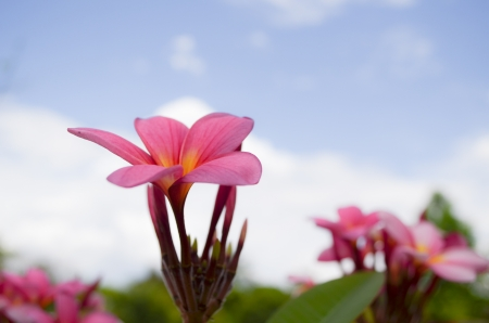 pink plumeria flower on sky background Stock Photo - 19138436