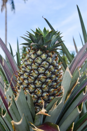 pinapple in  green field Stock Photo