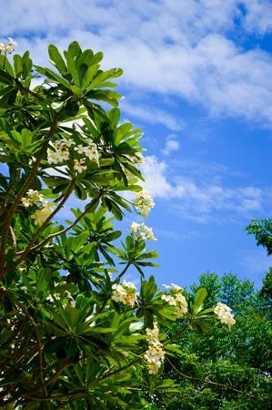 plumeria flower on sky background Stock Photo - 21636484