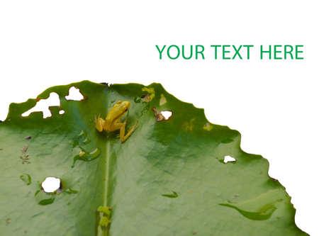 little frog on lotus leaf Stock Photo - 24249944