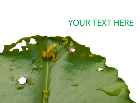 little frog on lotus leaf Stock Photo - 24249944