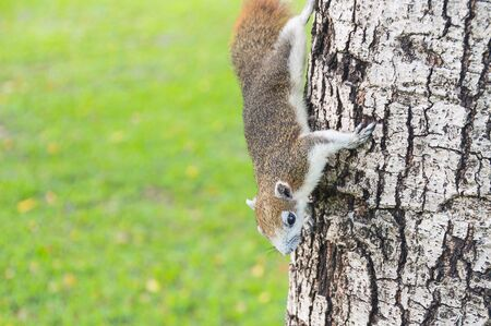 Grey squirrel climb on the tree in park Stock Photo