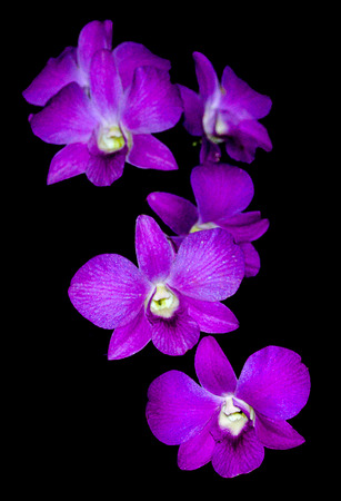 Die violette Orchidee auf schwarzem Hintergrund