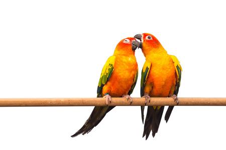 Pair of Colorful Sun Conure, beautiful yellow parrot birds  photo