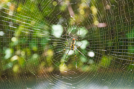 yellow spider on the web in wild Stock Photo