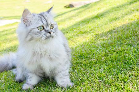 persia: Persia Cat on grass