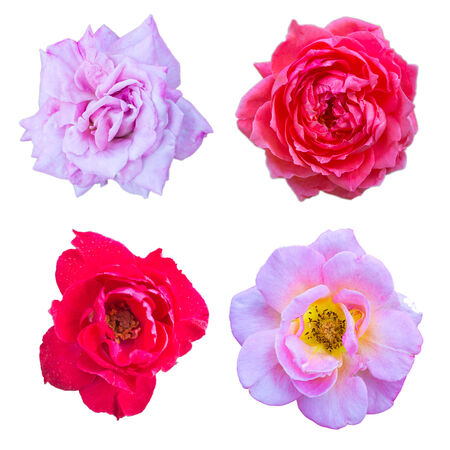 set of blossom roses on the white background photo